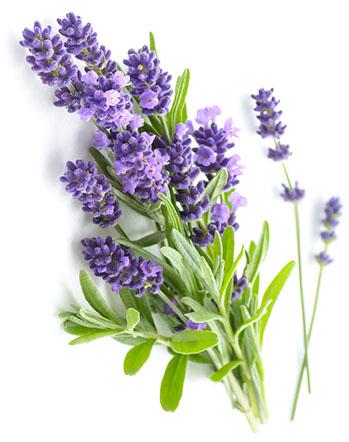 Lavender 01 - AKALIKO พลังบำบัดแห่งธรรมชาติที่เดินทางคู่ความหอมจากการคัดสรรวัตถุดิบอย่างดีและปลอดภัย เพื่อเป็นผลิตภัณฑ์สปาและบิวตี้คุณภาพสูง เช่น ก้านไม้หอม, น้ำมันหอมระเหย, สเปรย์ฉีดหมอน, น้ำมันบำรุงผิว, น้ำมันบำรุงหน้า, เซรั่มวิตามินซี เพื่อการผ่อนคลายที่แท้จริง